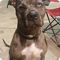 American Staffordshire Terrier/Catahoula Leopard Dog Mix Dog for adoption in Lima, Ohio - Inali
