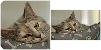 Domestic Shorthair Cat for adoption in Forked River, New Jersey - Gracie