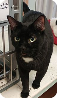Domestic Shorthair Cat for adoption in Walden, New York - Ceaser