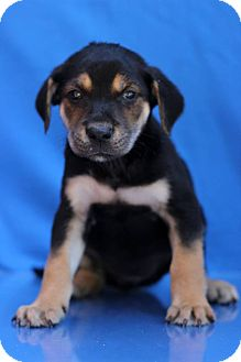 Shepherd (Unknown Type) Mix Puppy for adoption in Waldorf, Maryland - Prim