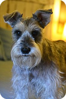 Schnauzer (Standard) Mix Dog for adoption in Bedminster, New Jersey - Lucy