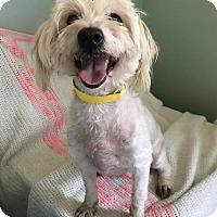 Adopt A Pet :: Shasta - Costa Mesa, CA