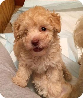 Poodle (Toy or Tea Cup) Mix Puppy for adoption in Jacksonville, Florida - Lexie