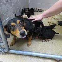 Adopt A Pet :: Minerva - Fairfax Station, VA
