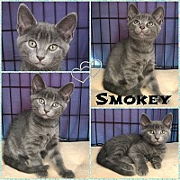 Adopt A Pet :: Smokey - Jeffersonville, IN