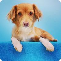 Adopt A Pet :: Pocahontas - La Mirada, CA