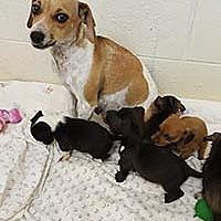 Adopt A Pet :: Diamond - Chantilly, VA