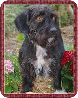 Terrier (Unknown Type, Small)/Scottie, Scottish Terrier Mix Dog for adoption in North Palm Beach, Florida - DUFFY