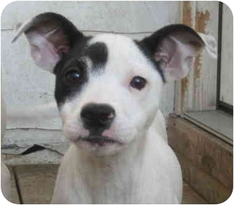 Jack Russell Terrier/Rat Terrier Mix Puppy for adoption in Chicago, Illinois - Tasha*ADOPTED!*