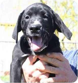 Labrador Retriever Mix Puppy for adoption in Auburn, California - Mojo