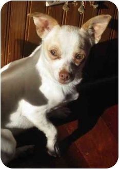 Chihuahua Mix Dog for adoption in Austin, Texas - Willie