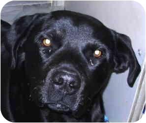 Labrador Retriever Mix Dog for adoption in Kansas City, Missouri - Courtesy List-Baloo