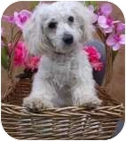 Poodle (Miniature)/Maltese Mix Dog for adoption in Encino, California - Maurice