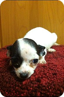 Chihuahua Mix Puppy for adoption in Davie, Florida - Phoebe