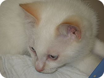 Siamese Kitten for adoption in Medina, Ohio - Casper