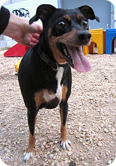 Manchester Terrier Mix Dog for adoption in Philadelphia, Pennsylvania - Gracie