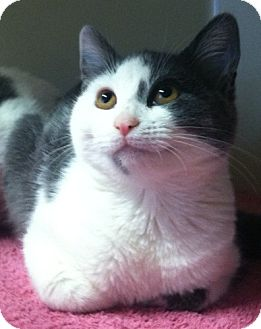 Domestic Shorthair Kitten for adoption in Red Bluff, California - Anabella