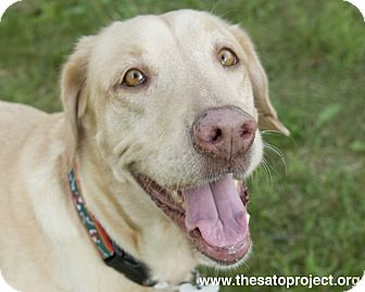 Labrador Retriever Mix Dog for adoption in Brooklyn, New York - Odette