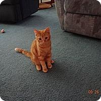 Adopt A Pet :: Abigail - Saint Albans, WV