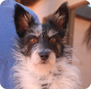 Terrier (Unknown Type, Small) Mix Dog for adoption in Las Vegas, Nevada - Ferdinand
