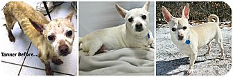 Chihuahua Dog for adoption in Forked River, New Jersey - Tanner