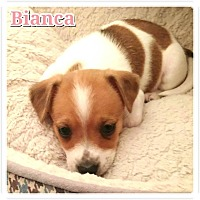 Adopt A Pet :: BIANCA - Fort Worth, TX