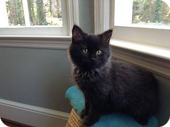 Domestic Longhair Kitten for adoption in Marietta, Georgia - Handsome