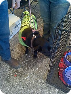 Labrador Retriever/German Shepherd Dog Mix Dog for adoption in Zolfo Springs, Florida - DJ