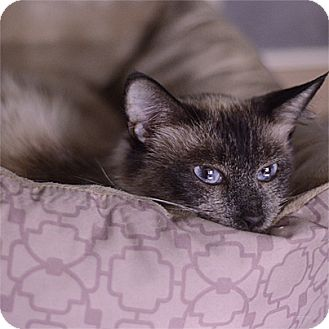Siamese Cat for adoption in Stillwater, Oklahoma - Olympia