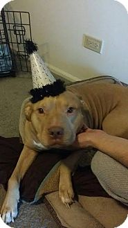 American Pit Bull Terrier/American Staffordshire Terrier Mix Dog for adoption in Chicago, Illinois - Cane