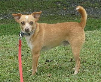 Chihuahua Mix Dog for adoption in Fairmont, West Virginia - Buster
