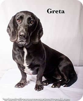 Basset Hound/Labrador Retriever Mix Dog for adoption in Baton Rouge, Louisiana - Greta