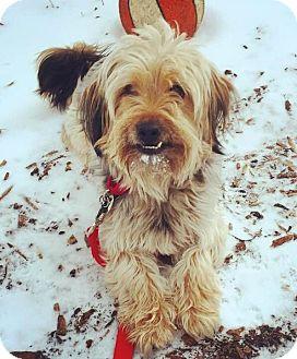 Shih Tzu/Yorkie, Yorkshire Terrier Mix Dog for adoption in Oak Park, Illinois - Oliver