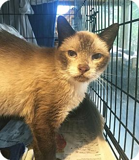 Siamese Cat for adoption in Flint HIll, Virginia - BAMBOO