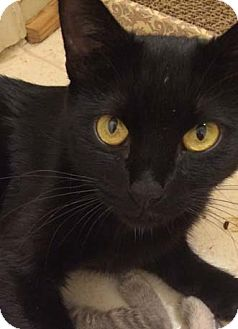 Domestic Shorthair Cat for adoption in Merrifield, Virginia - Mia