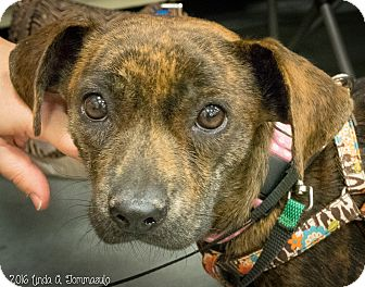 Dachshund Mix Dog for adoption in Loudonville, New York - Cami