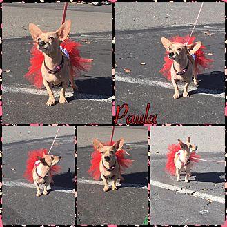 Chihuahua Mix Dog for adoption in Reno, Nevada - Paula Faris