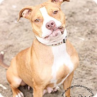 American Pit Bull Terrier Mix Dog for adoption in Mt Vernon, New York - Lucy