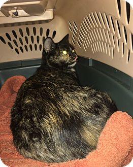 Domestic Shorthair Cat for adoption in Atlantic, North Carolina - Delilah