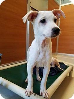 Shar Pei/Retriever (Unknown Type) Mix Puppy for adoption in Gloucester, Massachusetts - Fergie