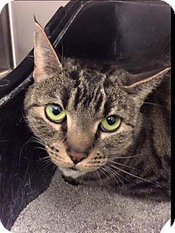 Domestic Shorthair Cat for adoption in Trenton, New Jersey - Chloe K