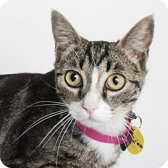 Domestic Shorthair Cat for adoption in Chico, California - Katrina