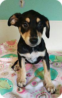 German Shepherd Dog Mix Puppy for adoption in Apache Junction, Arizona - Ruka