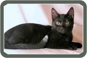 Domestic Shorthair Cat for adoption in Sterling Heights, Michigan - Travis - ADOPTED!