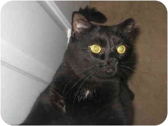 Domestic Shorthair Cat for adoption in Medford, Massachusetts - Sir Joshua