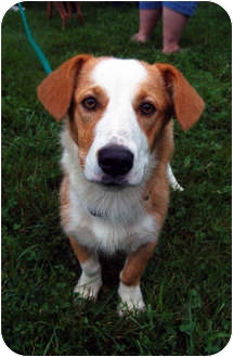 Corgi/Terrier (Unknown Type, Small) Mix Dog for adoption in Murfreesboro, Tennessee - Rosie
