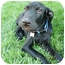 Photo 3 - Labrador Retriever/Mastiff Mix Puppy for adoption in Detroit, Michigan - Timmy-Pending