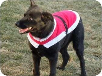 Border Collie/Labrador Retriever Mix Dog for adoption in Meridian, Idaho - Xica (Chica)