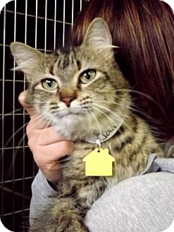 Domestic Mediumhair Cat for adoption in Fort Riley, Kansas - Jolie