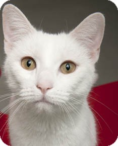 Domestic Shorthair Cat for adoption in Chicago, Illinois - Mr. White